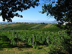 Oliventrær og vinranker